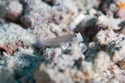 BD-150421-Maldives-7568-Gnatholepis-anjerensis-(Bleeker.-1851)-[Eye-bar-goby].jpg